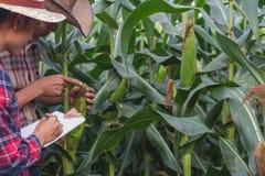 Завод Agronomist рассматривая в кукурузном поле, фермере пар и исследователе анализируя завод мозоли стоковая фотография