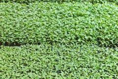 Завод Chilis в доме питомника Стоковая Фотография RF