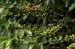 Завод Coffe Стоковые Изображения RF