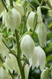 Завод filamentosa юкки изумительный с белыми цветками Стоковое фото RF