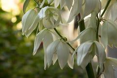 Завод filamentosa юкки изумительный с белыми цветками Стоковая Фотография RF