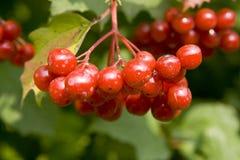 завод guelder деталей bush ягод поднял Стоковое Фото