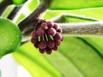 Завод Hoya цвести свои цветки Красивые заводы и яркие цветки o стоковая фотография