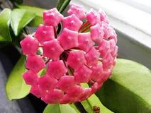 Завод Hoya цвести свои цветки Красивые заводы и яркие цветки o стоковые фото