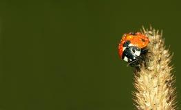 завод ladybird Стоковое Фото