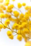 завод mimosa ветви Стоковое Изображение