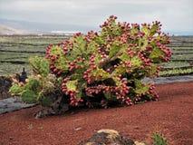 Завод Opuntia шиповатой груши гружёный с плодоовощ стоковое фото rf