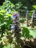 Завод Reptans Ajuga с голубыми цветками стоковая фотография