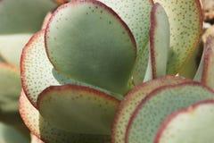 Завод succulent Crassula стоковые фото