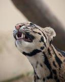 заволокли леопард Стоковые Изображения RF