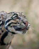заволокли леопард Стоковое фото RF