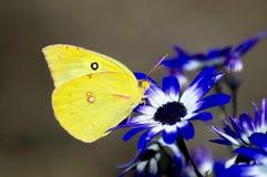 Заволокли сера на голубых цветках Стоковое Изображение