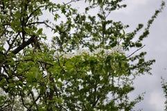 Завораживающая чувствительная весна цвета груши на мая Стоковые Изображения