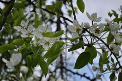 Завораживающая чувствительная весна цвета груши на мая Стоковое Фото