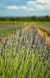 завод лаванды ландшафта ароматичного поля травяной Стоковые Изображения RF