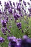 завод лаванды ландшафта ароматичного поля травяной Стоковая Фотография RF