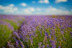 завод лаванды ландшафта ароматичного поля травяной Стоковые Фотографии RF