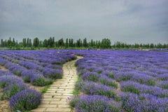завод лаванды ландшафта ароматичного поля травяной Стоковое Изображение