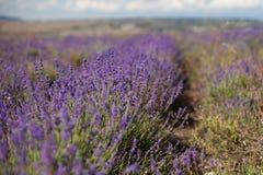 завод лаванды ландшафта ароматичного поля травяной Стоковое Фото