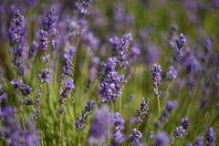 завод лаванды ландшафта ароматичного поля травяной Стоковые Фото