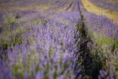 завод лаванды ландшафта ароматичного поля травяной Стоковые Изображения