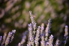 завод лаванды ландшафта ароматичного поля травяной стоковое фото rf