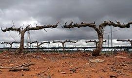 заволакивает виноградники Стоковое Изображение RF