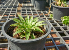 Завод ананаса в баке Стоковая Фотография