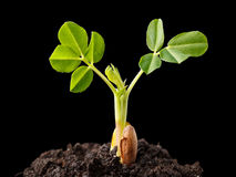 Завод арахиса растущий Стоковая Фотография RF