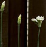 3 завода одичалых лука в цветени Стоковая Фотография