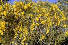 завода mimosa цветков ветви предпосылки желтый цвет флористического пушистого круглый Стоковая Фотография