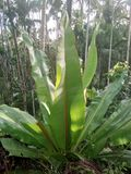 Завод банана Jaint Стоковое фото RF