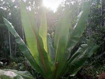 Завод банана Jaint Стоковое Изображение