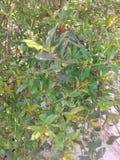 Завод гранатового дерева с цветками Стоковое Изображение RF
