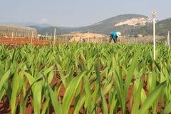 Завод гладиолуса в dalat- Вьетнаме, на холме, красное soild, строка строкой Стоковая Фотография RF