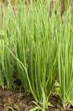 Завод зеленого лука Стоковая Фотография RF