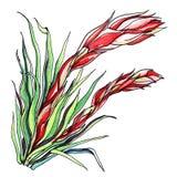 Завод имбиря Ботаническая иллюстрация Стоковые Фото