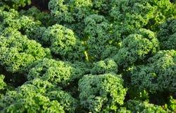 Завод листовой капусты Стоковые Изображения