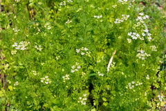 Завод и цветок укропа как аграрная предпосылка Стоковые Изображения RF