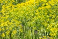 Завод и цветок укропа как аграрная предпосылка Стоковое фото RF