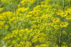 Завод и цветок укропа как аграрная предпосылка Стоковая Фотография RF