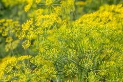 Завод и цветок укропа как аграрная предпосылка Стоковая Фотография