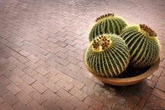 Завод кактуса в горшке на патио дома Стоковая Фотография RF