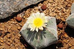 Завод кактуса с желтым цветком стоковые фотографии rf