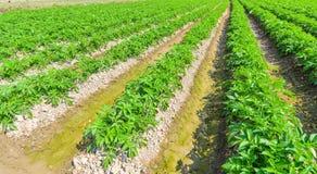 Завод картошки на поле Стоковые Изображения RF