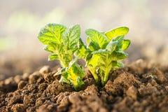 Завод картошки растя на почве Стоковая Фотография