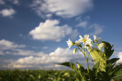 Завод картошки цветет на солнечный день, Midwest, США Стоковое фото RF