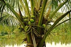 Завод кокоса Стоковая Фотография