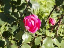 Завод красной розы в солнечности утра стоковая фотография rf
