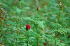 Завод красной розы Стоковое Фото